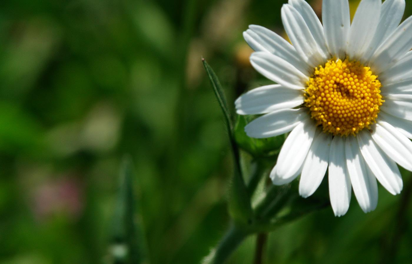 Blumen in der Region Serfaus-Fiss-Ladis. Sommer-Ferien in Tirol.