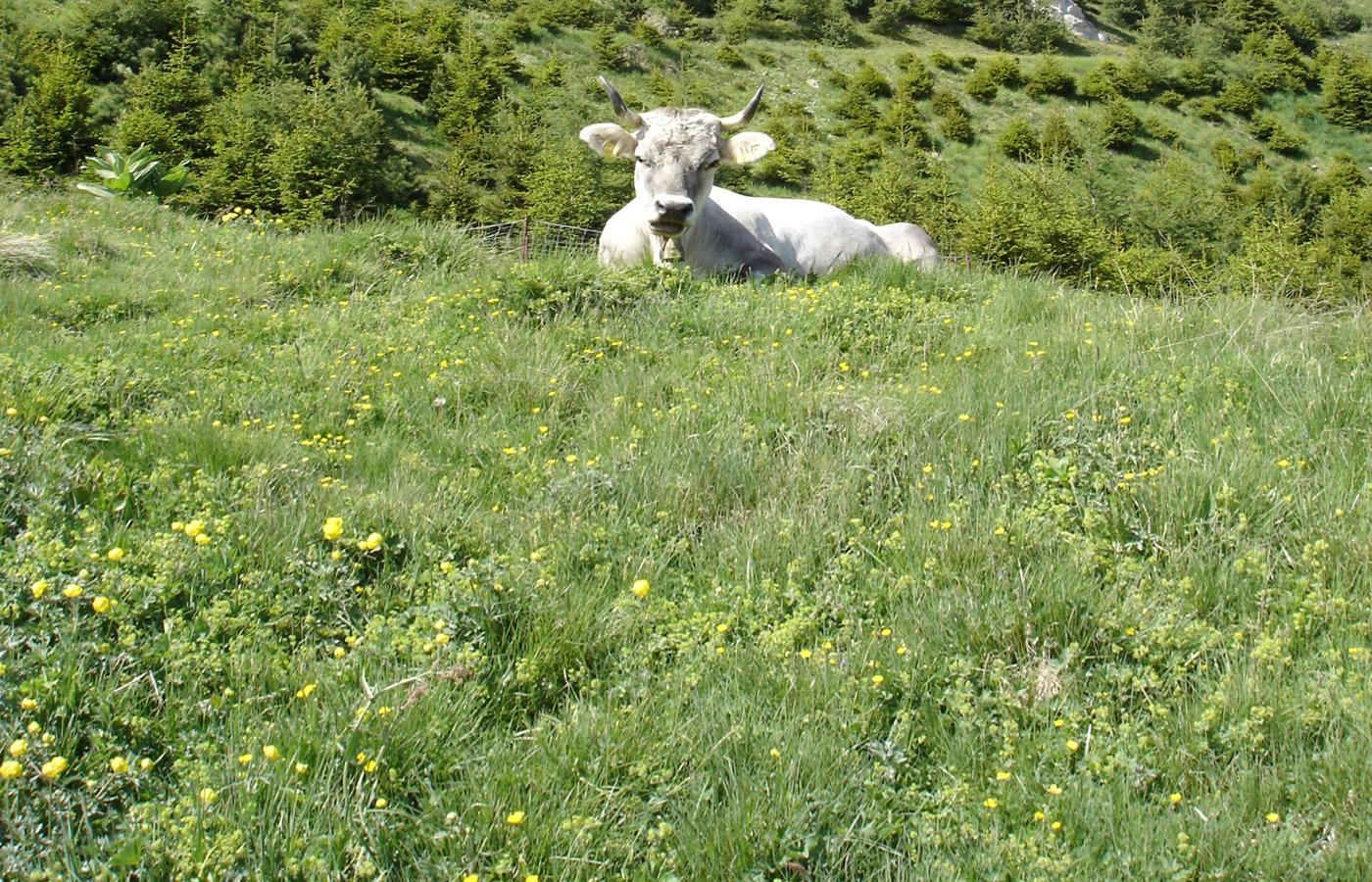 Natürliche Aussicht und tierische Ruhe in Fiss, Tirol.